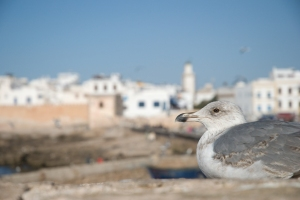 Gull in Essaouira (Morroco)
