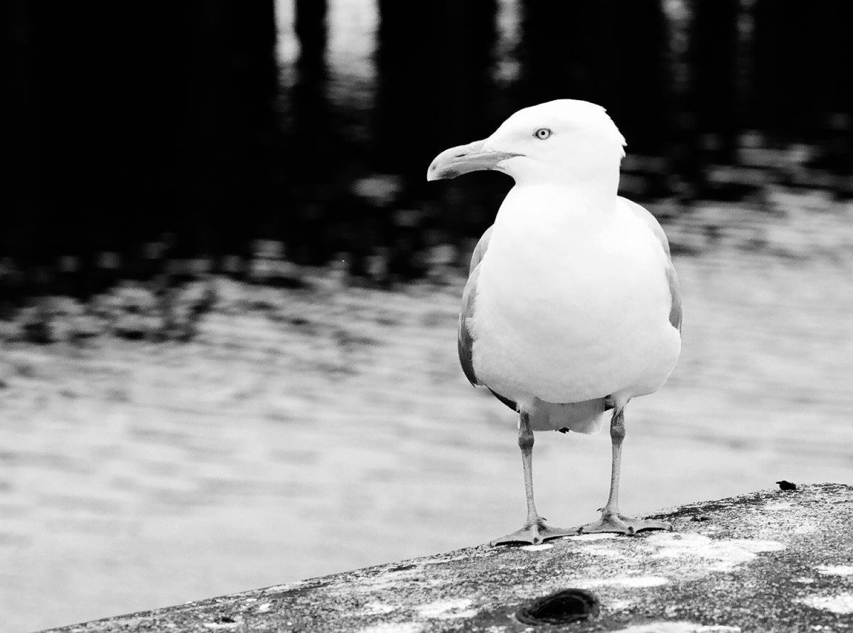 Gull - Boston Harbor - Olympus OM-2s