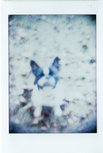 Jules (French Bouledogue). Holga camera with defective shutter.