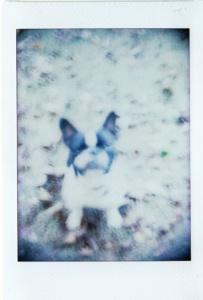 Jules (French Bouledogue). Holga camera with defective shutter.