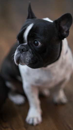 Jules-French Bouledogue-Fujifilm X-T1 - Canon FL 55mm f1/2